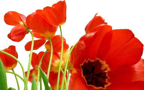 Tulipános háttérkép 32