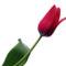 Tulipános háttérkép 33