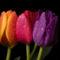 Tulipános háttérkép 39