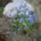 Kék nefelejcs