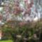 Tulipán fa a szomszédban.