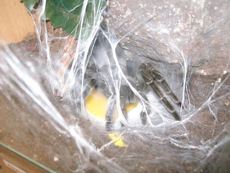 Pamphobeteus sp. machalla