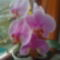 Rózsaszín csíkos orchideám teljes pompájában 2010.márc.