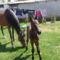 Szép lovakKis csikó 001
