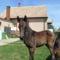 Szép lovakKis csikó 002