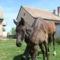 Szép lovakKis csikó 003