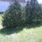 Tuja fák