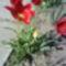 Tulipán múllóban
