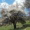 Csiki havasok , virágzó fa