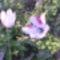 Virágoznak a tulipánok