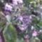 Virágzik a kis meggyfa!