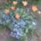 Virágzik a nefelejcs a tulcsik között