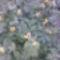 Virágzik a vérehulló fecskefű!