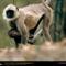 Langur Monkey, Madhya Pradesh, India, 1996