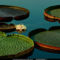 Lily Pads, St