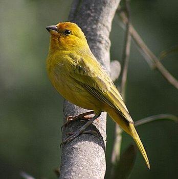 olivar madár