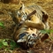 tigrisjaccik