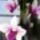 Dendrobium-003_714655_73007_t