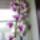 Dendrobium_714654_28245_t