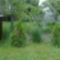 Kert szélén a kis tuják,háttérben a szomszéd üvegháza