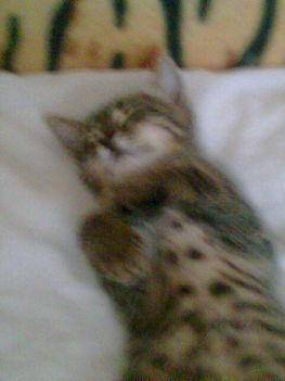 törpe cica alszik