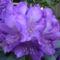 lila virag  kozelrol