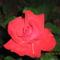 Keretem legszebb rózsája