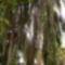 Picea abies cranstonii Elte Füvészkert