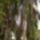 Picea_abies_cranstonii_elte_fuveszkert_719697_67052_t
