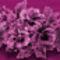 bordó virág lila csíkban