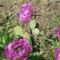dupla lila tulipán