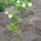 labda rózsa