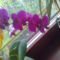 Lila phalám 2010.máj./2.virágzása