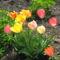 tulipán egyveleg