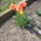 tulipánok