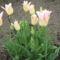 utolsó virágzó tulipánjaim