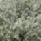 virágzó megyfa