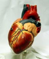 Emberi szív 3