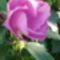 Rózsamályva