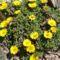 Asteriscus (Aranytallér)