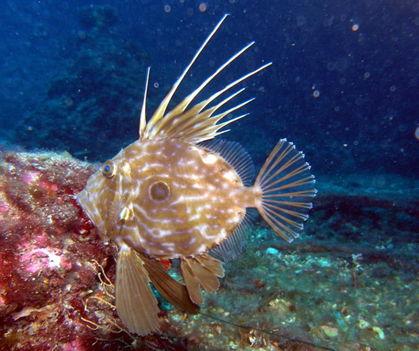 szent péter hal
