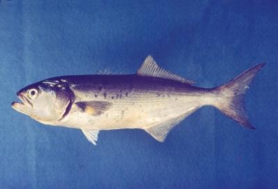 vérengző makrahal