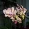 Orchideám harmadszor virágzik