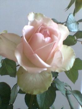 rózsám