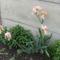 utcák, kertek...virágok 5