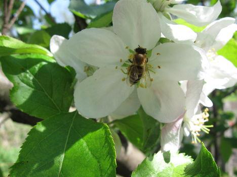 méhecske és az almafavirág