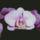Orhidea_fuzer_731228_21718_t