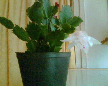 Fehér karácsonyi kaktusz