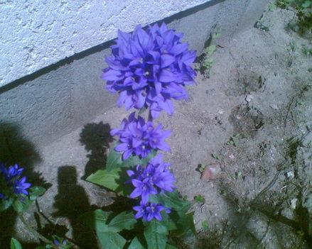 Harang kék