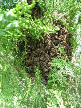 májusi méhraj a kertben 5